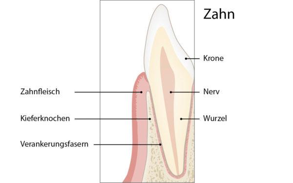 Gesunder Zahn im Querschnitt
