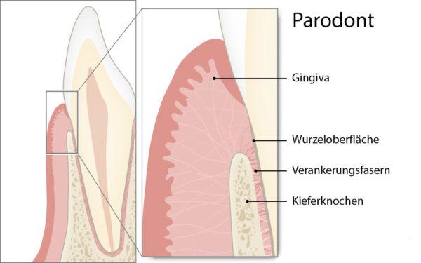 Gesundes Parodont im Querschnitt